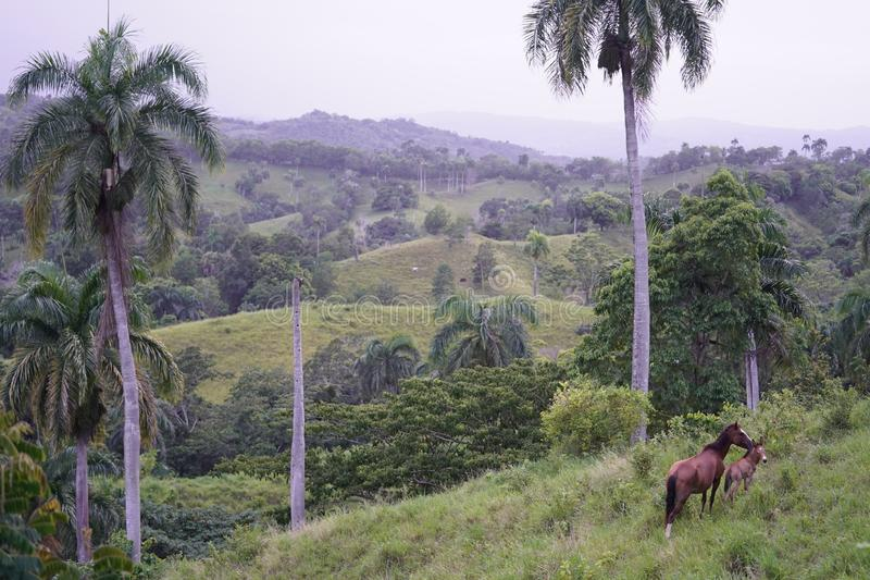 Grassy field with two horses standing near tree with green hills in background in Dominican Republic royalty free stock photos