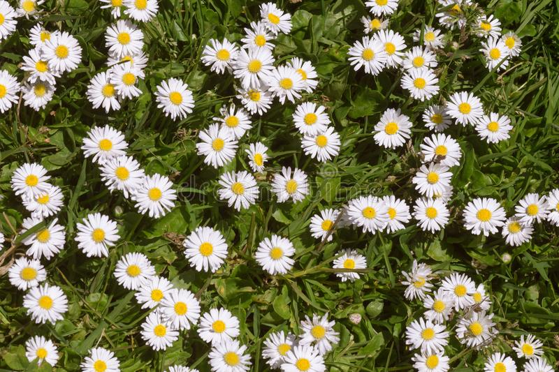 Grassy Field of White and Yellow Daisies. Horizontal photo of a grassy field of white and yellow daisies royalty free stock images