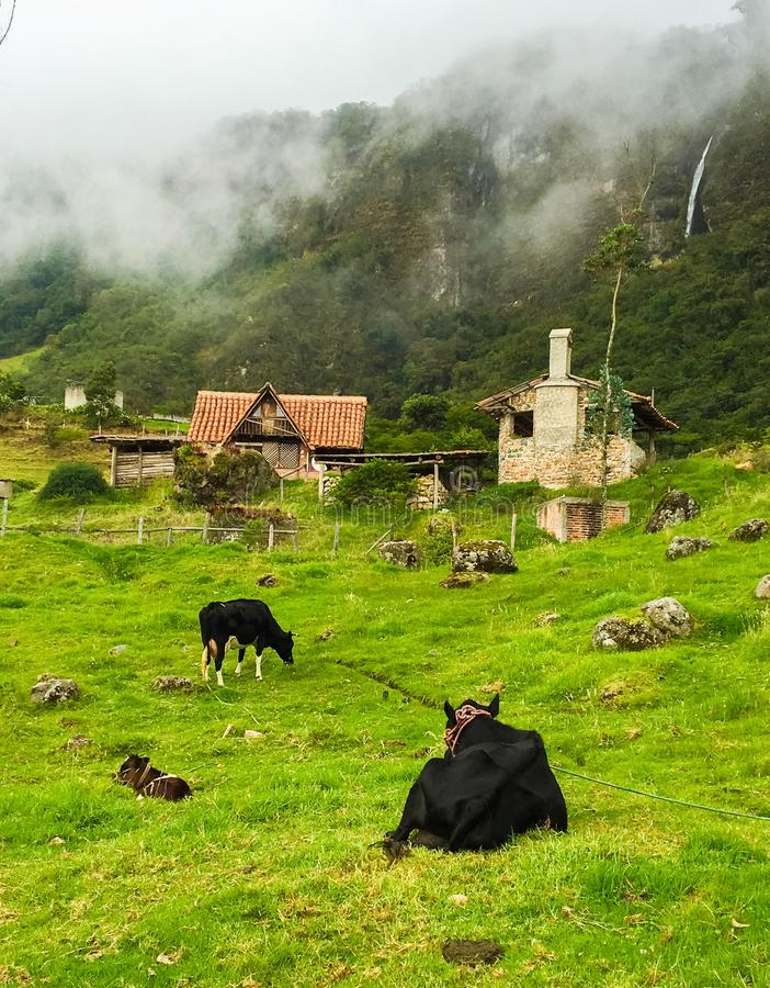 Grazing Cows in Green Pasture in Ecuador. Grassy green slope with old houses and foggy skies stock photography