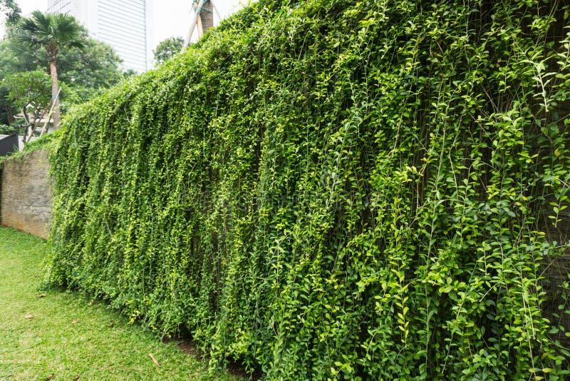 Graswerf het omringen door grote omheiningsmuur met groene die wijnstokkenfoto in Djakarta Indonesië wordt genomen royalty-vrije stock foto's