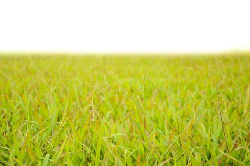 Graswerf op witte die achtergrond op witte achtergrond wordt geïsoleerd stock afbeeldingen