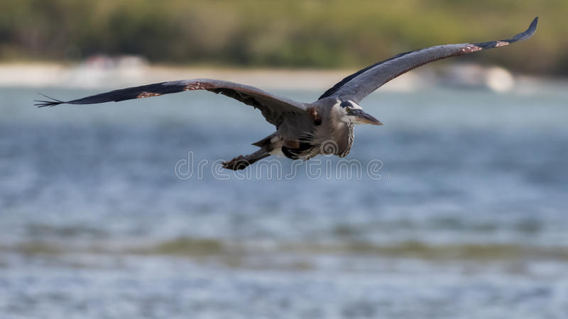 Great Blue Heron Flying, San Carlos Bay, Bunche Beach Preserve, F royalty free stock photography