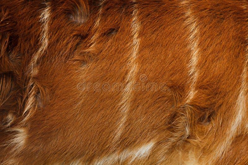 Gratus spekii Tragelaphus sitatunga леса стоковое изображение