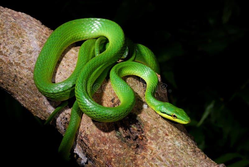Grau-Bauch grüne Ratte-Schlange stockfotografie