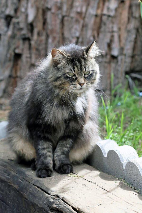 Grau, Fuffy Tabby Cat stockfoto