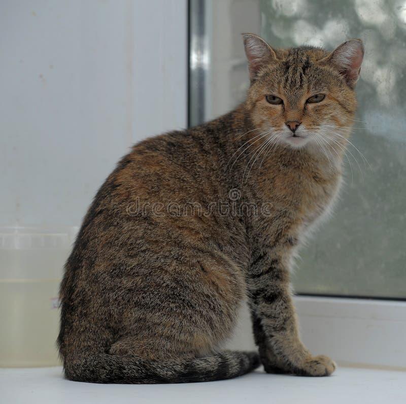 Grau mit braunem europäischem Katzensitzen lizenzfreie stockfotografie