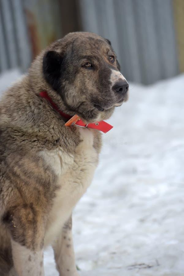 Grau mit weißem zentralem asiatischem Schäfer Dog, acht Jahre alt lizenzfreie stockfotos