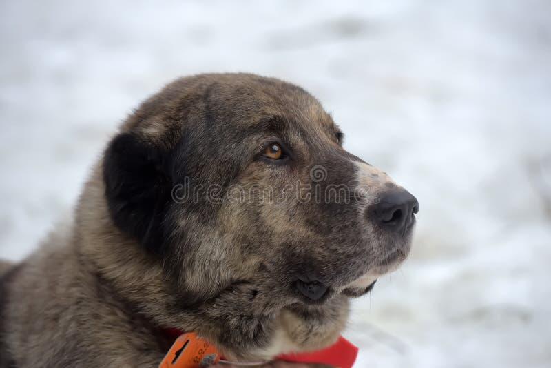 Grau mit weißem zentralem asiatischem Schäfer Dog, acht Jahre alt stockbilder