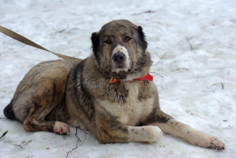 Grau mit weißem zentralem asiatischem Schäfer Dog, acht Jahre alt stockfotos