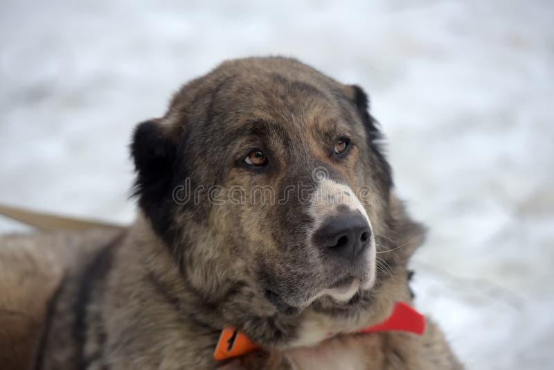 Grau mit weißem zentralem asiatischem Schäfer Dog, acht Jahre alt lizenzfreie stockbilder