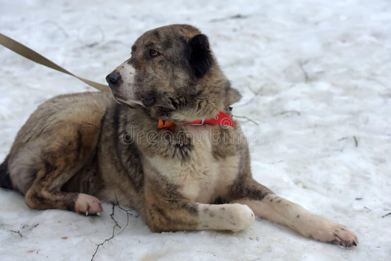 Grau mit weißem zentralem asiatischem Schäfer Dog, acht Jahre alt lizenzfreie stockfotografie