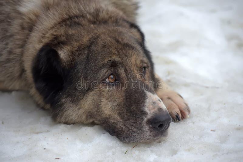Grau mit weißem zentralem asiatischem Schäfer Dog, acht Jahre alt stockfoto