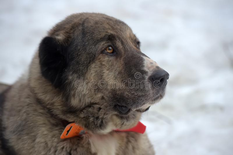 Grau mit weißem zentralem asiatischem Schäfer Dog, acht Jahre alt lizenzfreies stockfoto