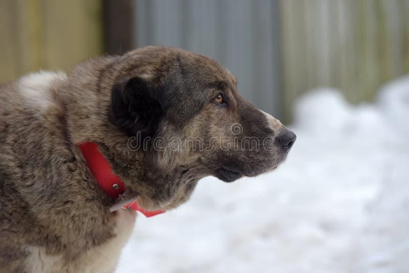 Grau mit weißem zentralem asiatischem Schäfer Dog, acht Jahre alt stockfotografie