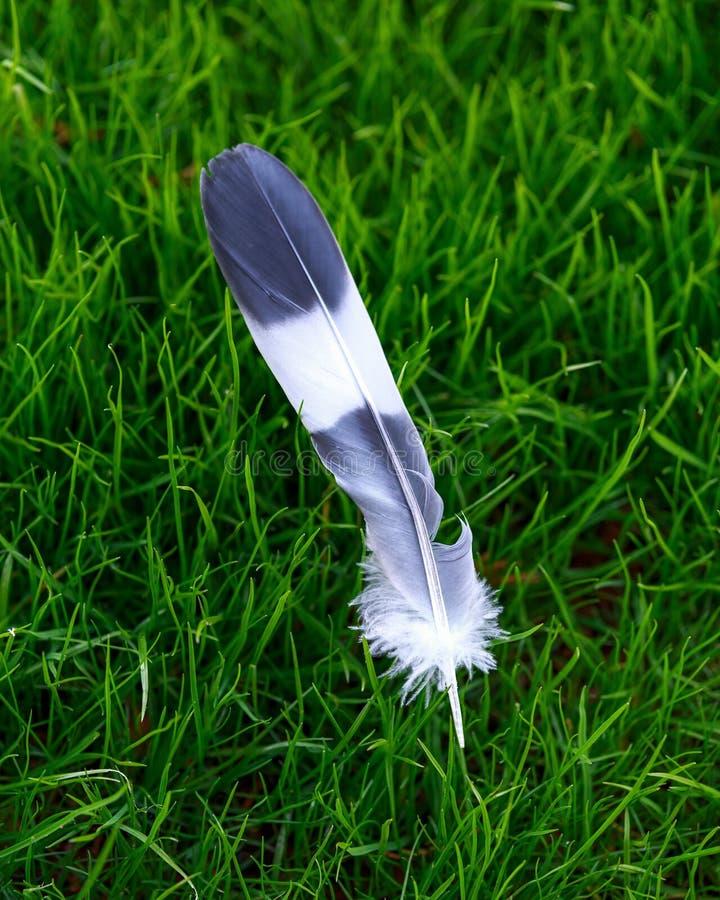 Grau- und weißevogelfeder auf Hintergrund des grünen Grases lizenzfreies stockfoto