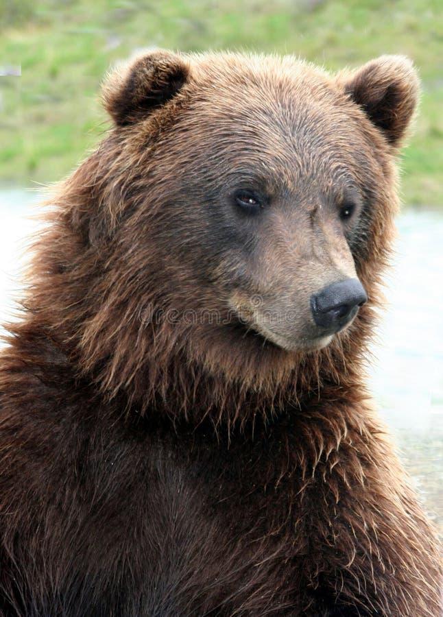 Graubär lizenzfreie stockfotos