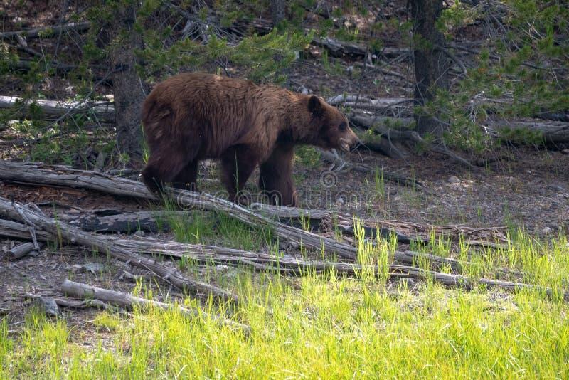 Graubär auf dem Prowl lizenzfreie stockbilder