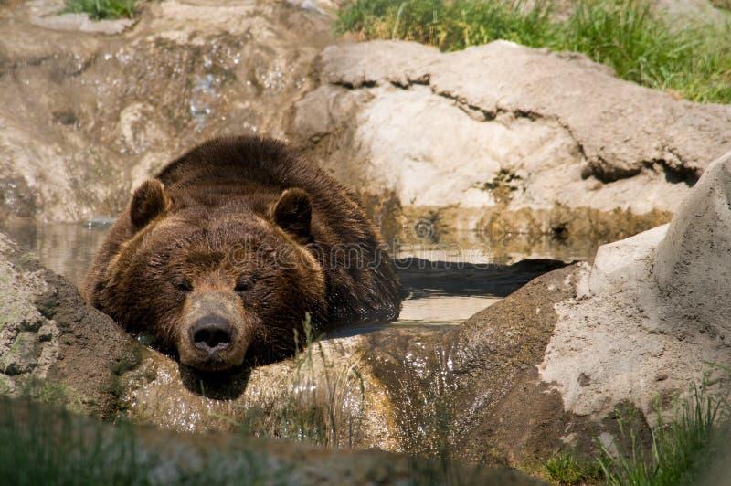 Graubär-Bär lizenzfreie stockbilder