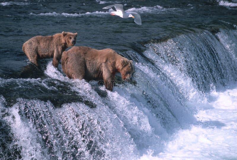 Graubärbären lizenzfreie stockfotos