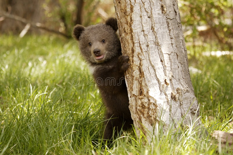 GraubärBärenjunges stockfotos