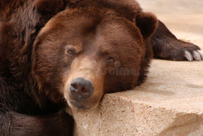 Graubärbärenkissen lizenzfreie stockbilder
