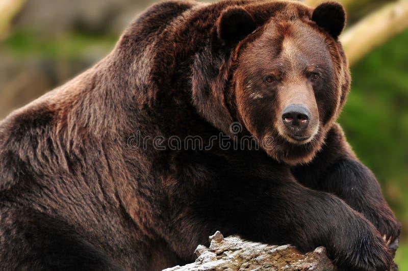 Graubärbärenportrait lizenzfreie stockfotografie