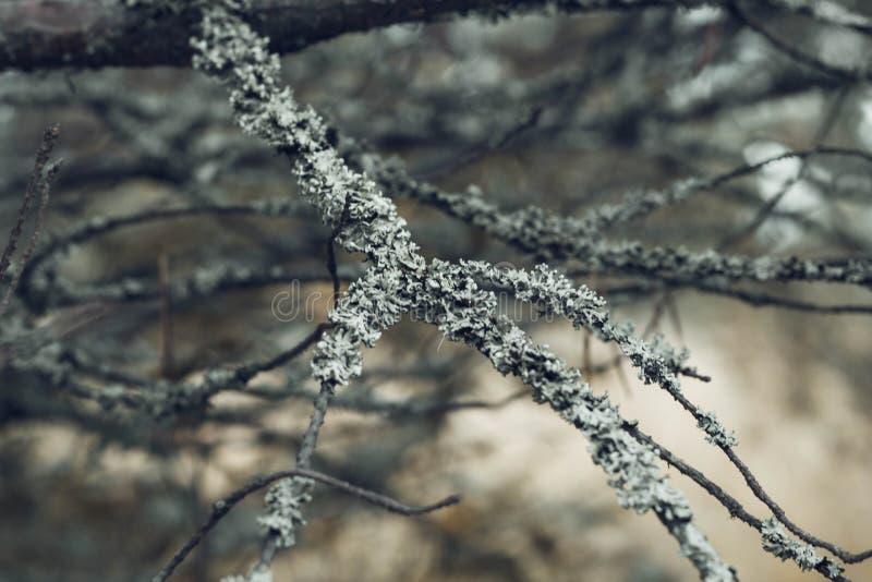 Graue Baumaste umfasst mit Moos im Waldabschluß oben Schönes Moos auf den Niederlassungen Der Baum im Moos stockfoto