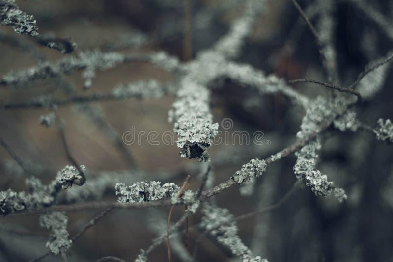 Graue Baumaste umfasst mit Moos im Waldabschlu? oben Sch?nes Moos auf den Niederlassungen Der Baum im Moos lizenzfreies stockfoto