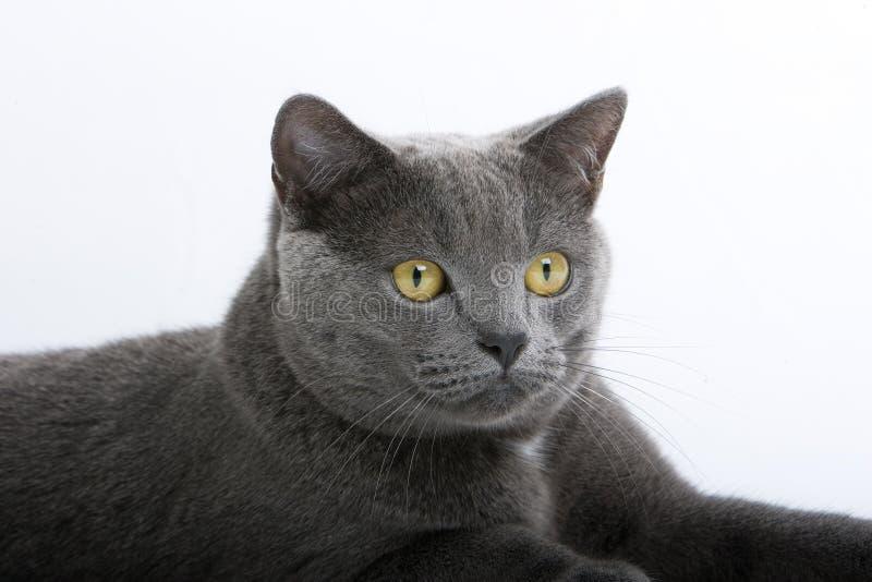 Graue britische kurzhaarige Katze stockfotografie