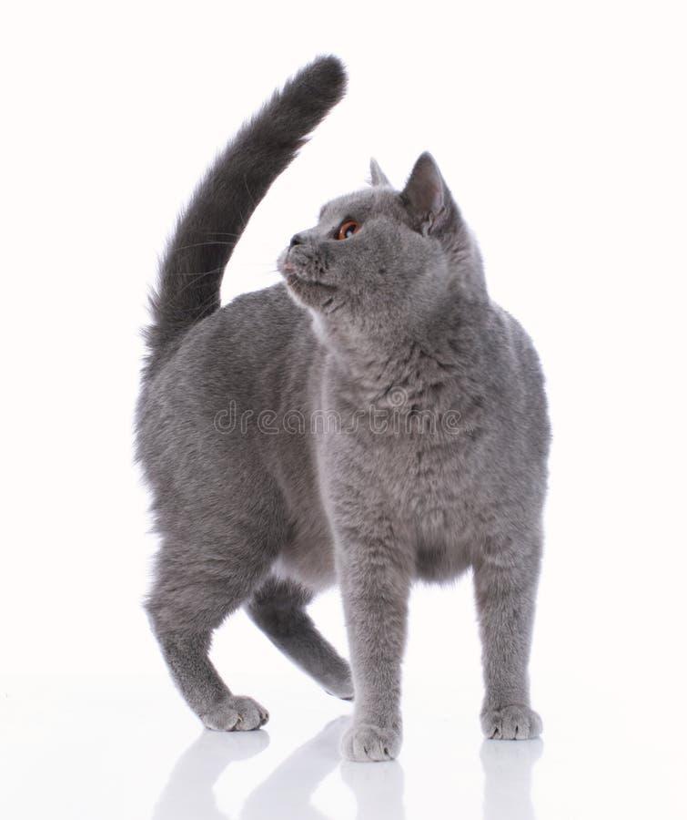 Graue britische shorthair Katze, die auf weißem Hintergrund steht stockbilder