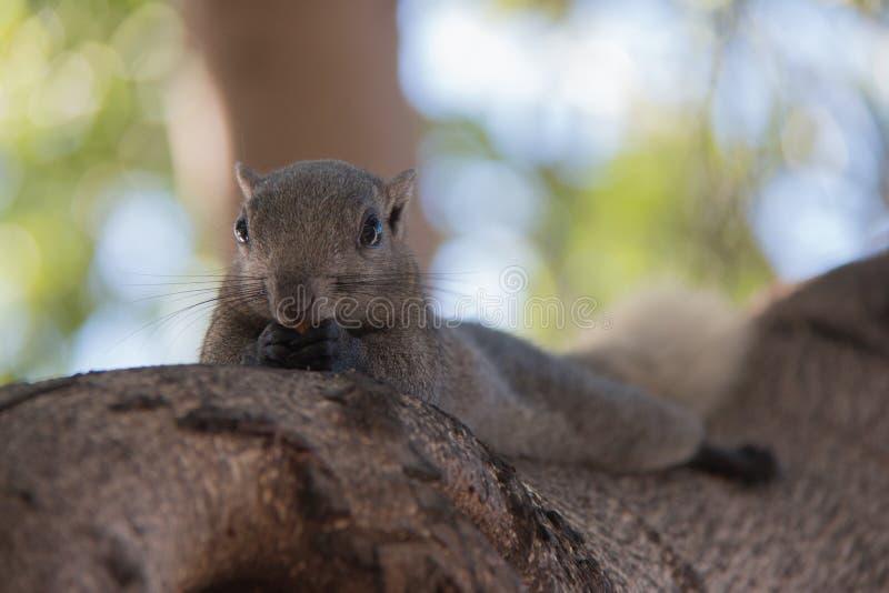 Graue Eichhörnchen der Schönheit essen Nuss auf Baumasten stockfotografie