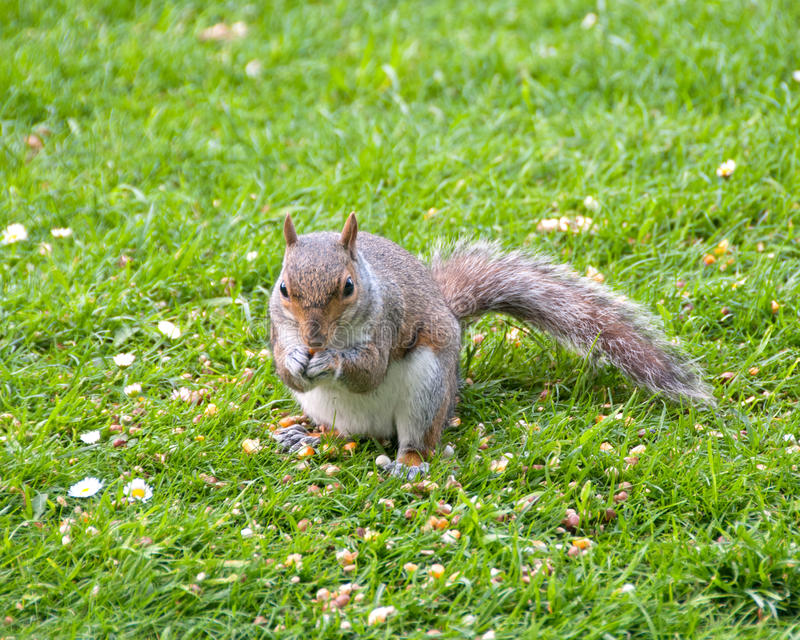 Graue Eichhörnchen-Speicherung stockbild
