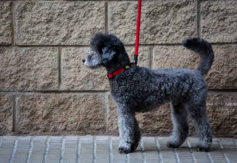 Graue Hundeseite geschossen mit roter Spitze lizenzfreies stockfoto
