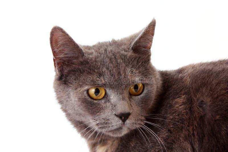 Download Graue Katze stockfoto. Bild von klein, katze, tier, mündung - 9095120