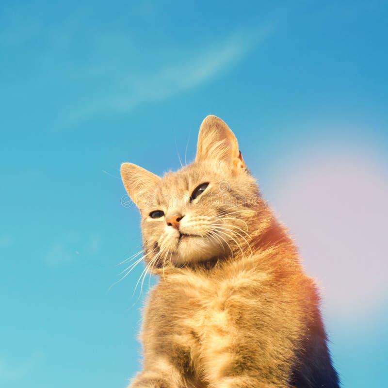 Graue Katze auf einem blauen Hintergrund im Sonnenlicht Katze im Himmel Ein Haustier Sch?nes K?tzchen Platz f?r Text Copyspace stockfotografie