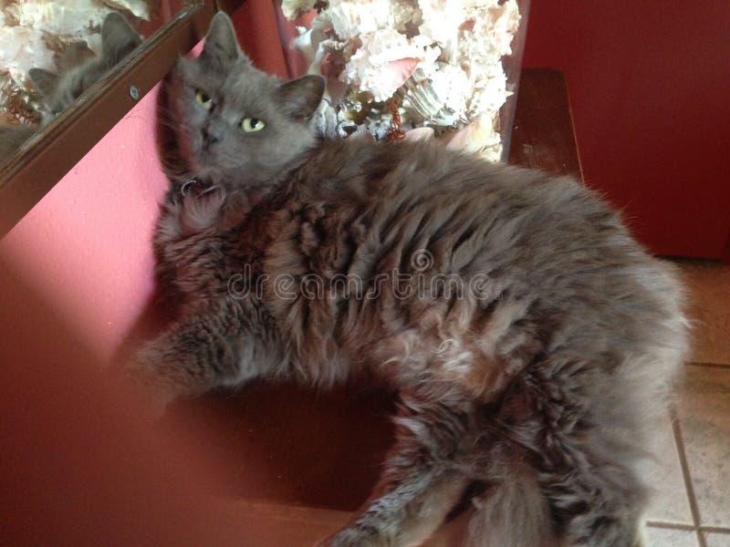 Graue Katze auf Tabelle lizenzfreie stockfotografie
