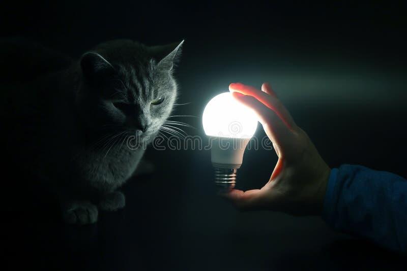 Graue Katze betrachtet eine glühende elektrische Lampe in der Hand eines Mannes lizenzfreie stockfotografie