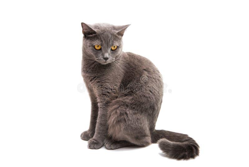 Graue Katze des Britisch Kurzhaars lokalisiert stockbilder