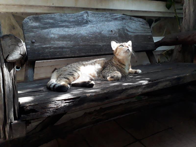Graue Katze, die auf dem Bretterboden oben betrachtet etwas liegt stockbild