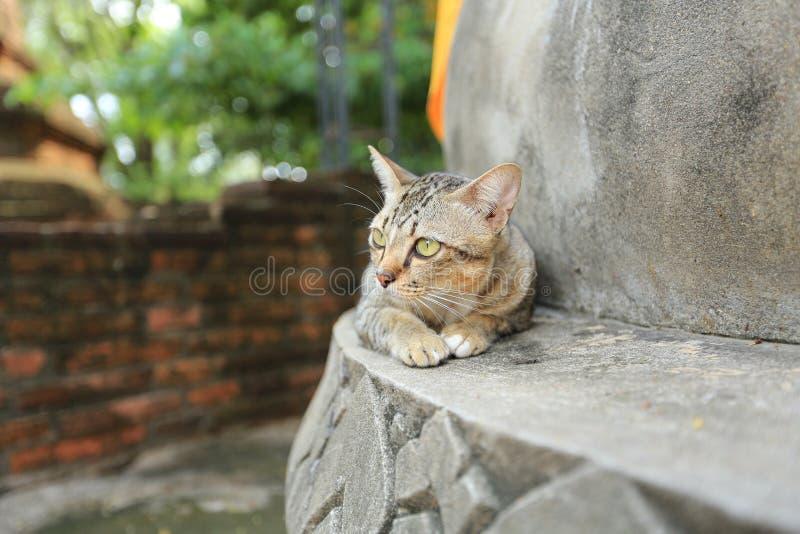 Graue Katze mit gelben Augen im Tempel stockbild