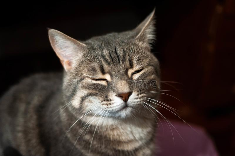 Graue Katze mit geschlossenen Augen und Whiskers vor dunkler Wand stockfotos