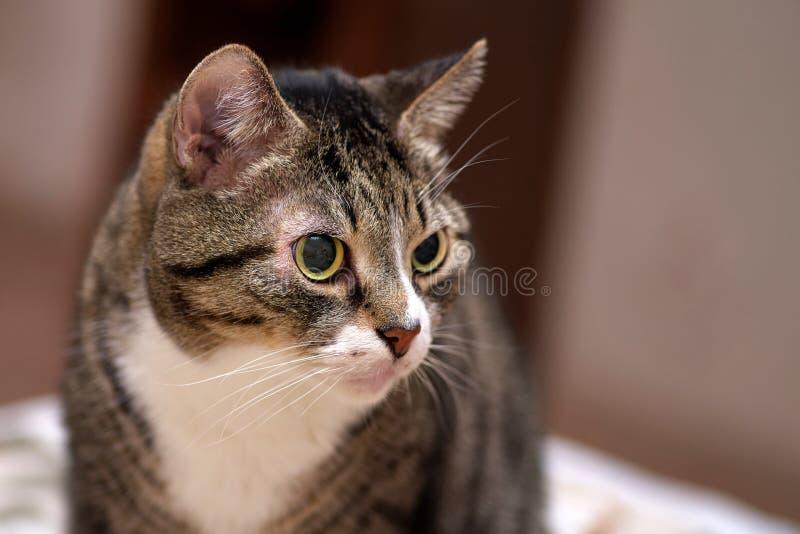 Graue Katze mit großen Blicken der grünen Augen zur Seite lizenzfreies stockfoto