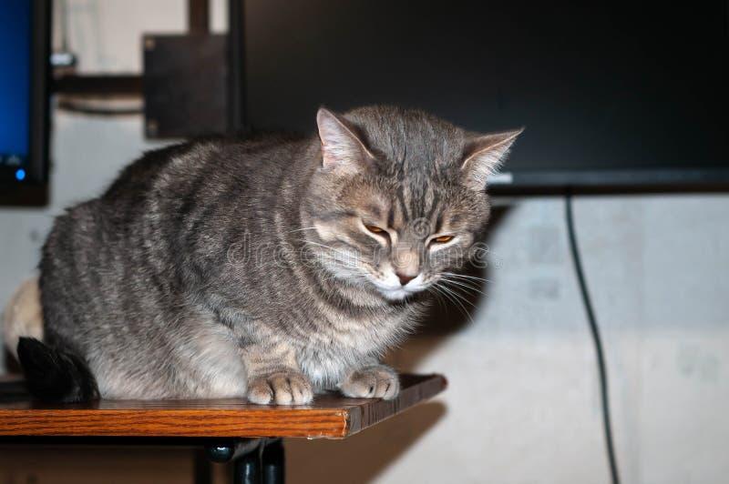 Graue Katze mit schönen Whiskers auf Holztisch vor leerem Computerbildschirm lizenzfreies stockfoto