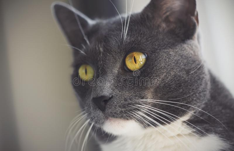Graue Katze mit schwarzer Nase und lange weiße Whiskers auf der Seite lizenzfreie stockbilder