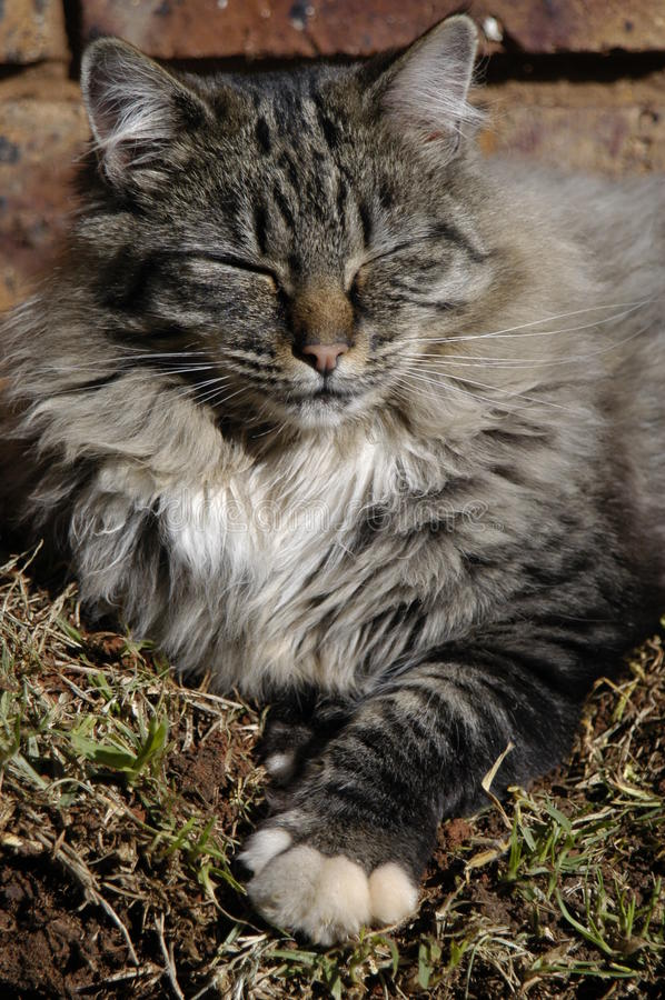 Graue Katze Schlafens stockbild