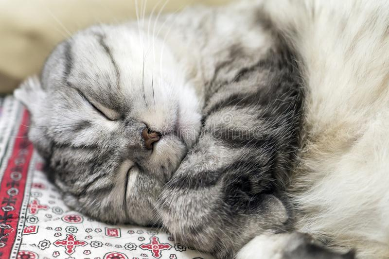 Graue Katzenzucht stockbild
