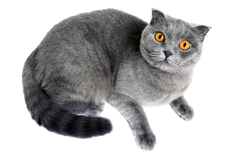 Graue Katzenzucht Scottish falten Lügen und sorgfältig von unten nach oben schauen stockbild