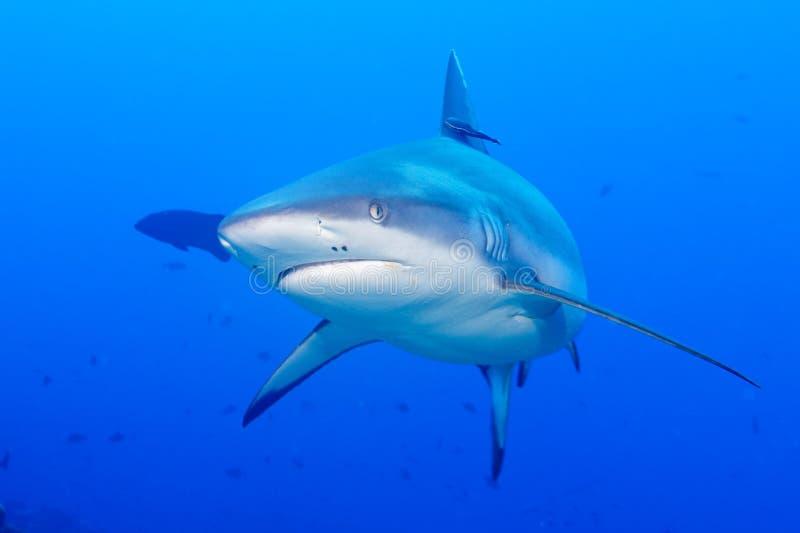 Graue Kiefer des weißen Hais bereit, nahes hohes Porträt des Underwater in Angriff zu nehmen stockbild
