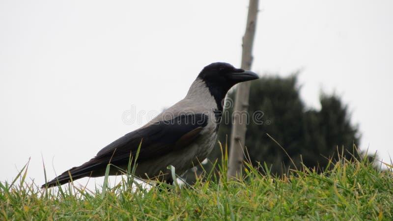 Graue Krähe auf dem Gras stockbilder