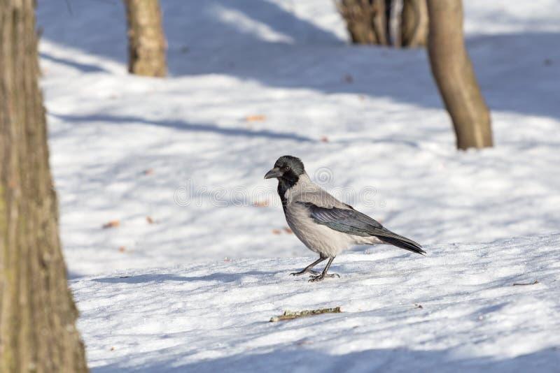 Graue Krähe im Schnee lizenzfreie stockfotos